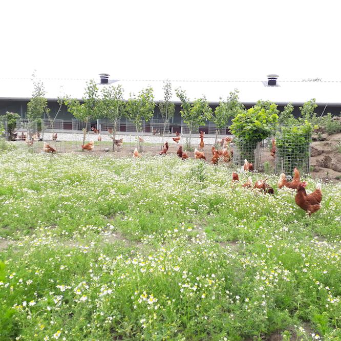 Hühner in Freilandhaltung vom Dingholzer Hofkiosk