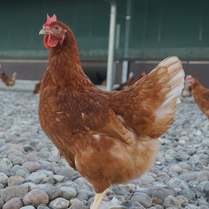 Huhn vom Dingholzer Hofkiosk