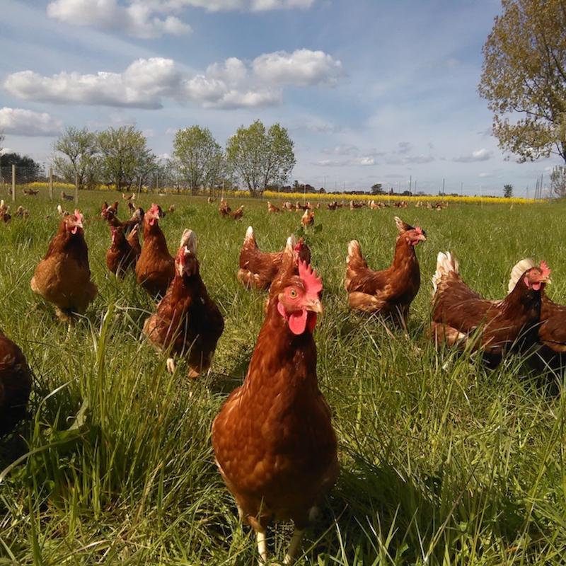 Hühner vom Dingholzer Hofkiosk