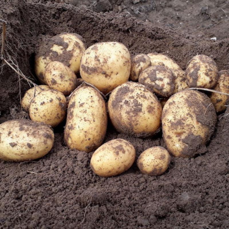 Kartoffeln vom Dingholzer Hofkiosk